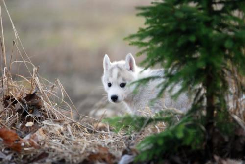 Paasiku koerabeebi